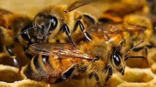 Новости науки от 23.05.2016 (пчелиная диета)
