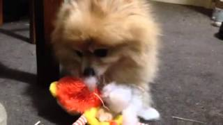 Tommy Pomeranian And His Lion