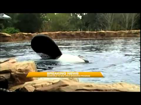 Video: SeaWorld ending Orca breeding program