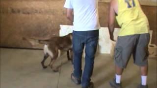 Usa Vlk  Alpha Dogs Plus Caraibas K9 Brasil