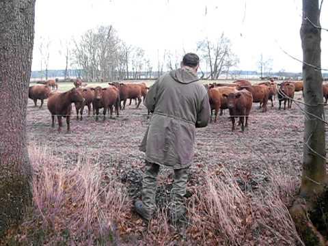 Kühe hören Musik