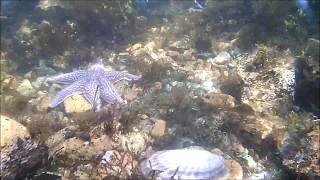 Шести лучевая Амурская морская звезда напала на морского Гребешка