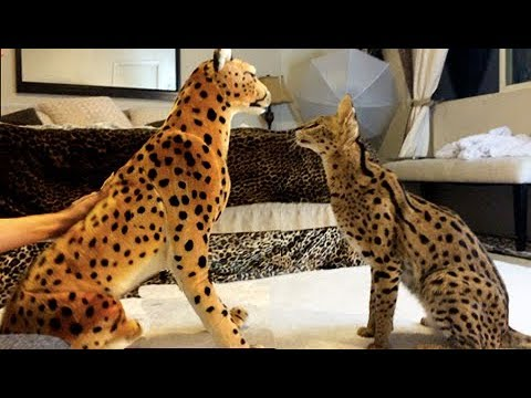 FUNNY Cats! SERVAL VS TOY CHEETAH! Cute