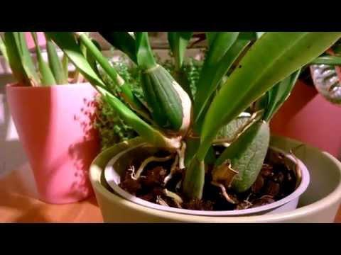 Орхидея Онцидиум_ Особенности ухода.