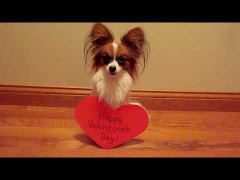 Percy the Papillon Dog: Happy Valentine's Day