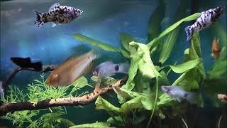2018 12 07_добавление грунта в 500л аквариум. Потомство от моллинезии-далматинец!