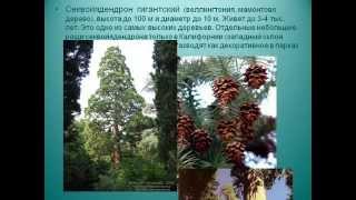 Голосеменные растения.AVI