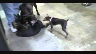 Rottweiler German Shepherd Mix Vs Miniature Pinscher