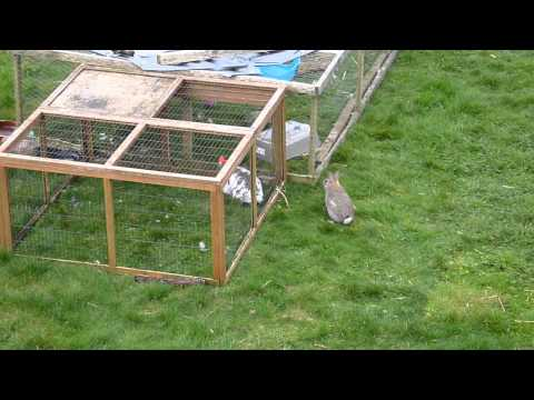 Wild Rabbit Visits Pet Rabbits in their Run