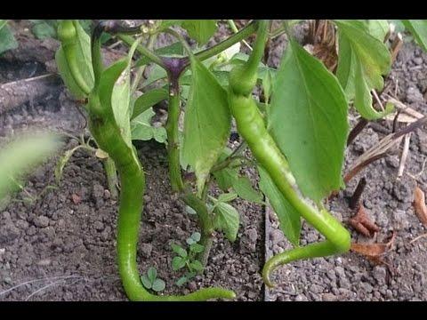 Hobi Bahçecilik - Saksıda Biber ve Patlıcan Dikimi