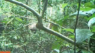 Camera-trap footage from Nigeria of Okomu National Park's elusive elephants.
