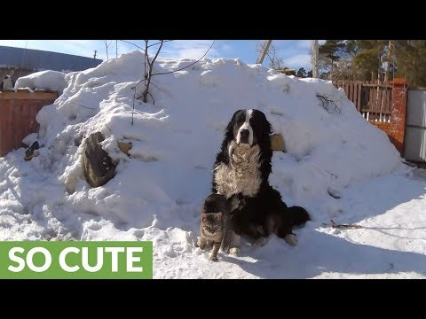 Cat attacks Bernese Mountain Dog with love and affection
