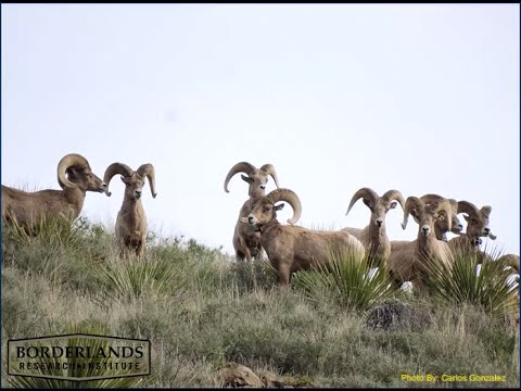 Wildlife for Lunch - Bighorn Sheep - November 2015