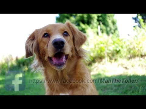 Mali the Toller - 1 year!!! Dog tricks & more