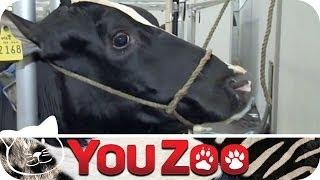 Der Kuh-Friseur │YouZoo