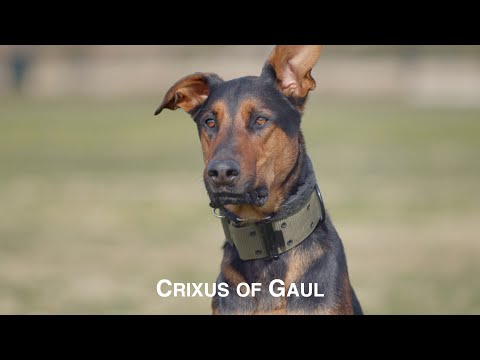 CRIXUS OF GAUL, AN AMAZING DOBERMAN PINSCHER BELGIAN MALINOIS MIX