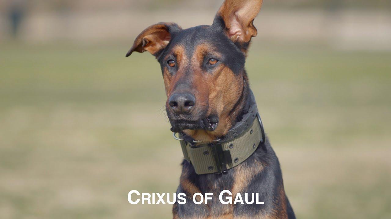 CRIXUS OF GAUL, AN AMAZING DOBERMAN PINSCHER BELGIAN