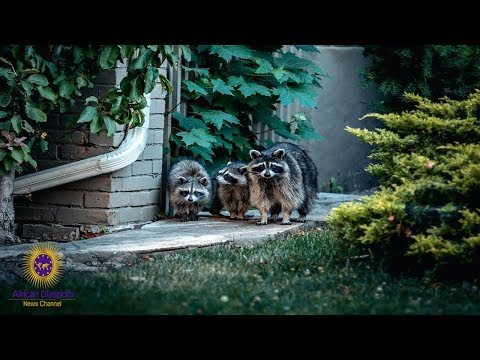 Residents Are Upset With Raccoons Constantly Being Dumped In Their Community