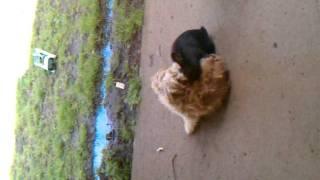 dog and rabbit mating