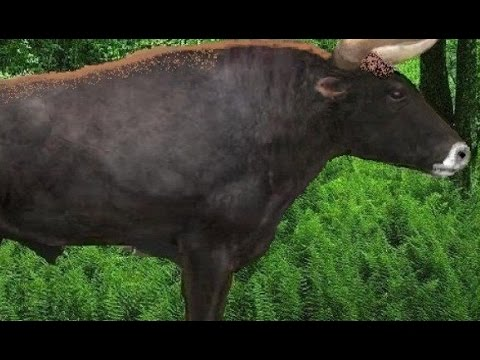 Scientists are attempting to bring back an enormous ancient cow