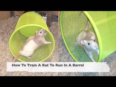 How To Train A Rat To Run In A Barrel