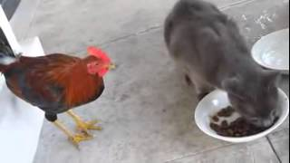 Funny Rooster and cat Pets Video