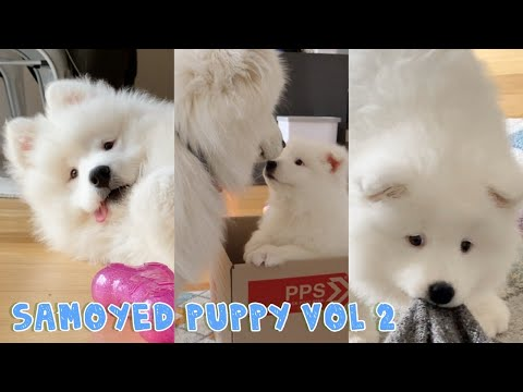 Cute Puppy Compilation of Minnie the Samoyed