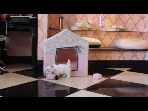 Baby doll faced Maltese Puppies 2016  - teacup puppies store .com - www.TeacupPuppiesStore.com