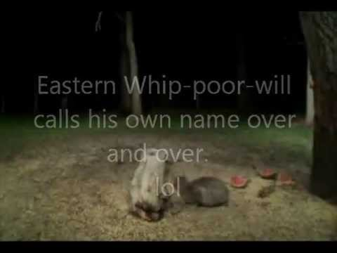 For a good night's sleep ... the Eastern Whip-poor-will.  :)