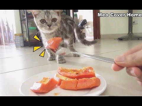 Cat Eating Papaya So Yummy | Funny Cat Vines 2018