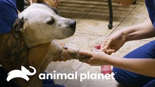 ¡Perro fantasma logra ser capturado! | Pit bulls y convictos | Animal Planet