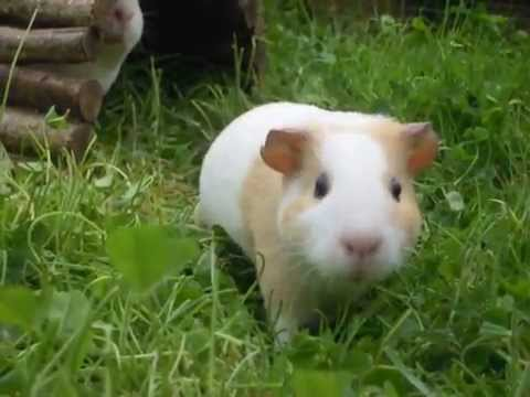 Tipperary Guinea Pigs on the grass 2015