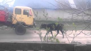Ското - Челленж . Коровы тянут КАМАЗ на буксире! Прикол Приколович Приколов.