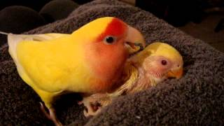 Chicken Little singing preening protecting her baby Lutino peach faced lovebird sibling Agapornis