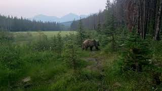 Close encounter with a Grizzly Bear while biking in Jasper Alberta