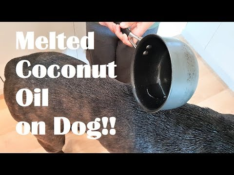 I Pour Melted Coconut Oil on Dog's DRY SKIN