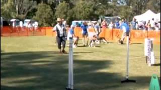 Flyball Brisbane Qld