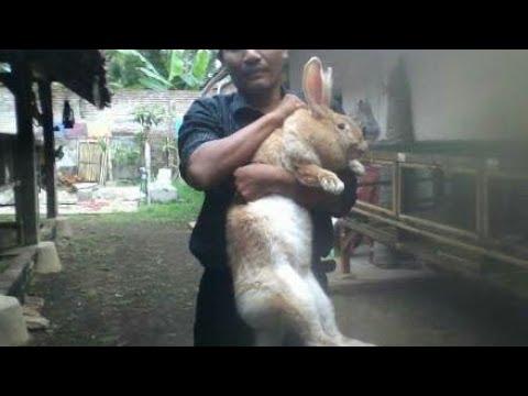 Kelinci flamis giant