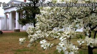 Plant  **White Dogwood Tree** Correctly  ++ Native American Flower Trees ++