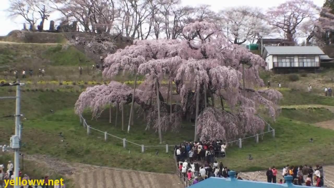 1000 Year Old Cherry Blossom Tree In Japan Miharu Takizakura
