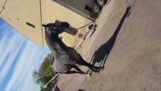 Супер лошади 3 года 178 холку