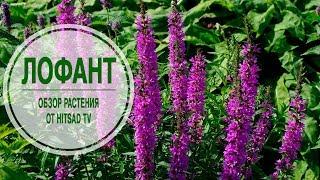 видео Саженцы живучки купить в Украине