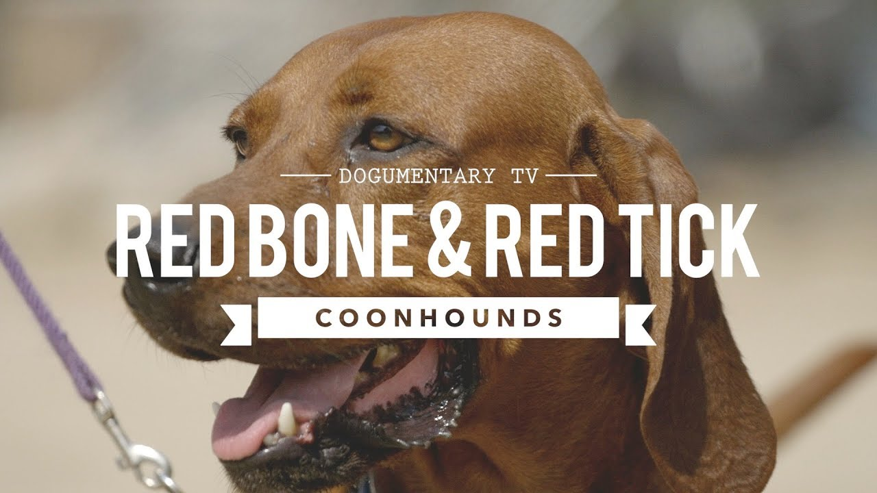 All About Redbone Amp Redtick Coonhounds Youtube