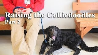 Brigadoon Service Dogs - Raising The Colliedoodles Part 2