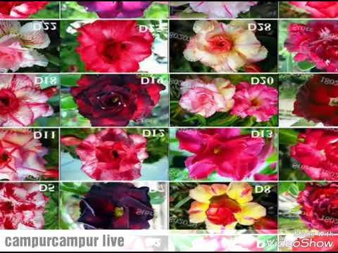 Download 93+ Gambar Gambar Bunga Adenium HD Terbaik