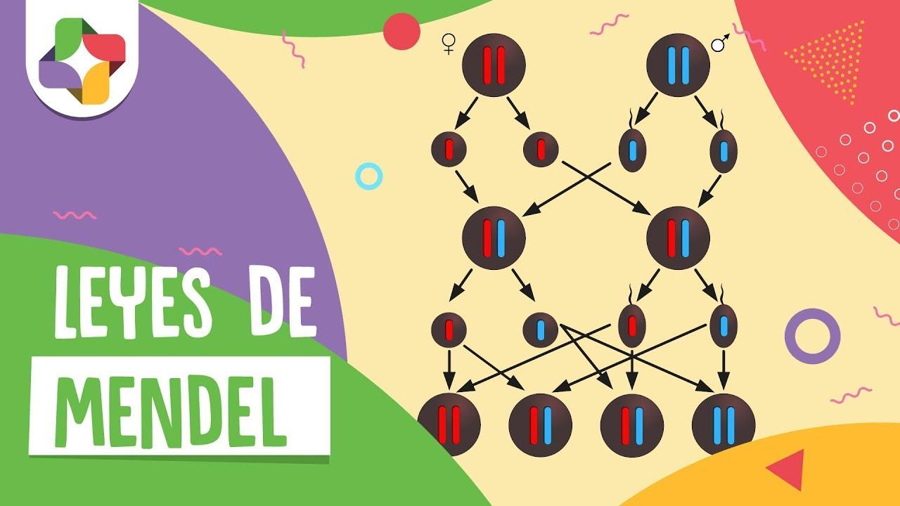 Las leyes de Mendel  Biologa  Educatina  YouTube