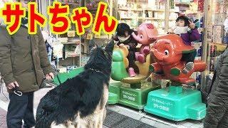 下町の遊園地サトちゃん・シェパード犬・マック君ビビル Walk with a big dog