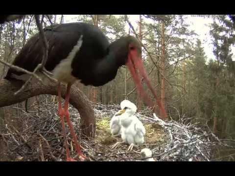 Estonian Black Storks ~ NOT FOR SENSITIVE VIEWERS! Female eliminates tiny chick, 2016 06 03 17:06