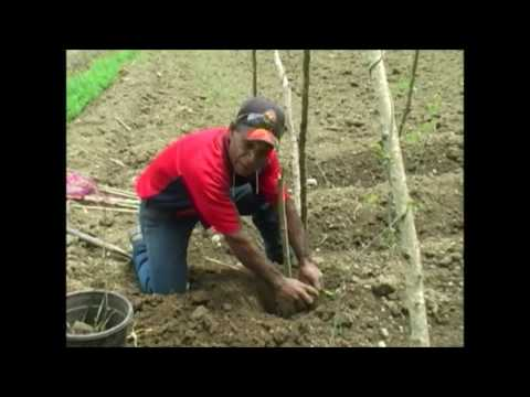 Wokim Planti Yam Sid Wantaim Afrika Yam (Yam Mini-setting) - PNG NARI