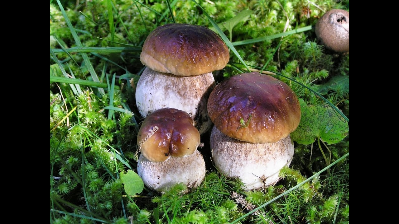Огромные БЕЛЫЕ ГРИБЫ растут вокруг грибницы возрастом 24 года. 4 .